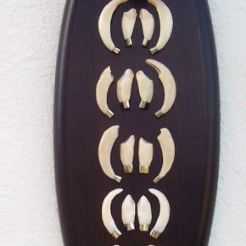 Colmillos de jabalí hembra