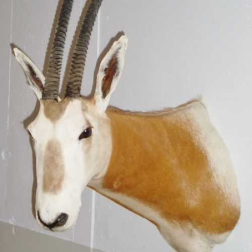 Orix cimitarra