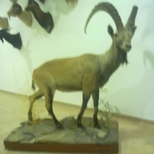 Ibex entero